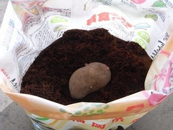 potato100312.JPG